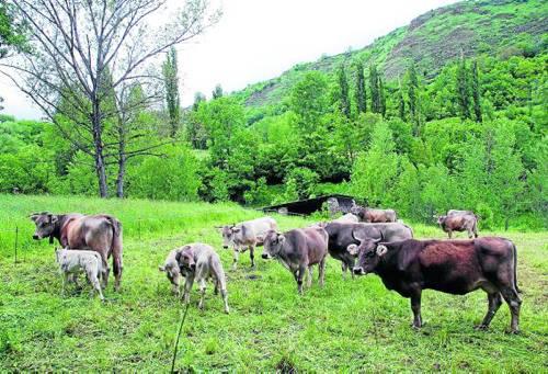 Un ramat de boví, en una finca del Pallars Sobirà on es concentra la producció ecològica (foto: ACN)